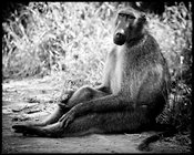 6919-Baboon_sitting_on_the_ground_Laurent_Baheux