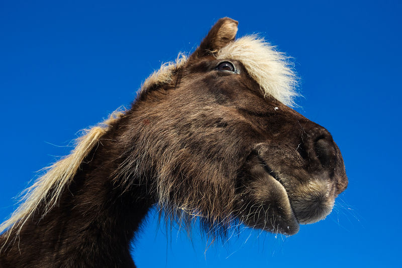 A Wide Angles Portrait of an Icelandic Horse