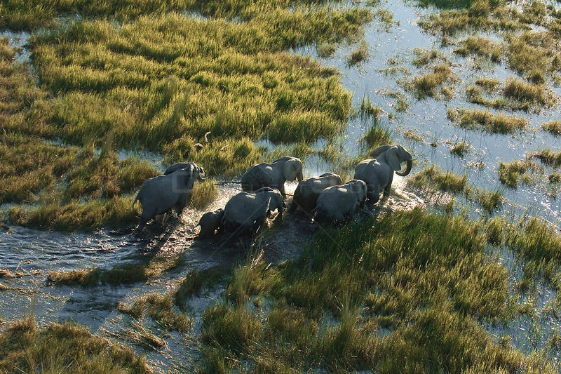 Aerial view of herd of African elephants (Loxodonta africana) wading through water, Okavango delta, Botswana, July