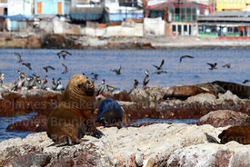 Male South American sea lion (Otaria flavescens) and red legged or Gaimards cormorants (Phalacrocorax gaimardi) , Iquique , Region I , Chile