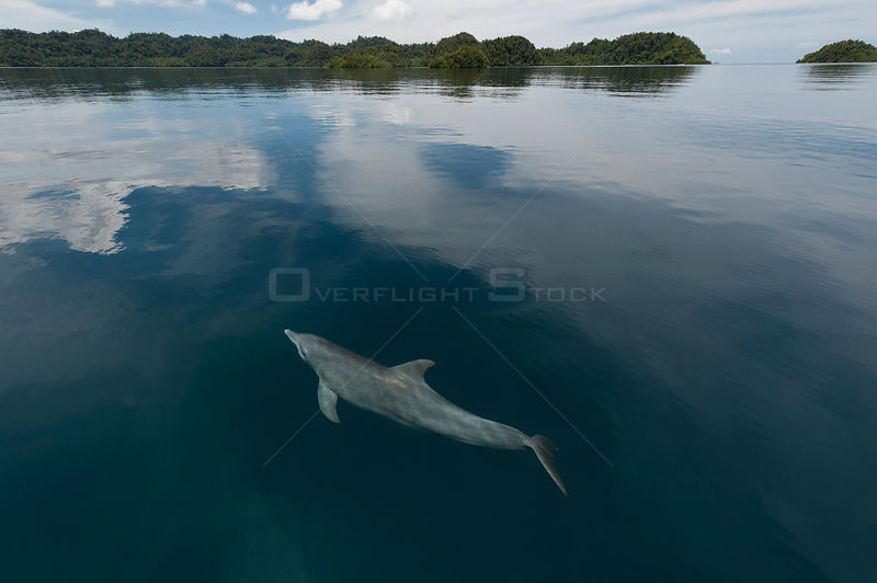 Indo-Pacific bottlenose dolphin (Tursiops aduncus) just below surface in flat calm water. Raja Ampat, West Papua, Indonesia, February 2010