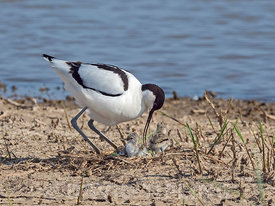 Pied Avocet Recurvirostra avosetta parent at nest with new born chicks North Norfolk May