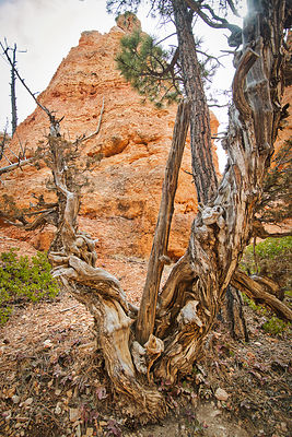 Twisted Trees- Bryce Canyon, Utah