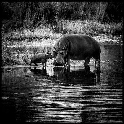 4172-Baby_hippo_with_his_mom_South_Africa_2008_Laurent_Baheux