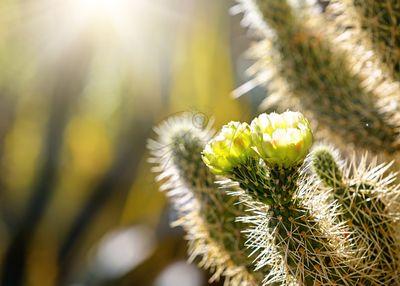 Closeup of Blooming Cholla Cactus With Copy Space