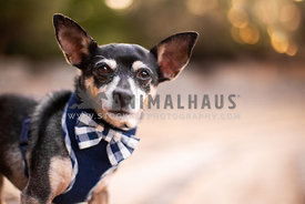 Chihuahua with bow tie smiling