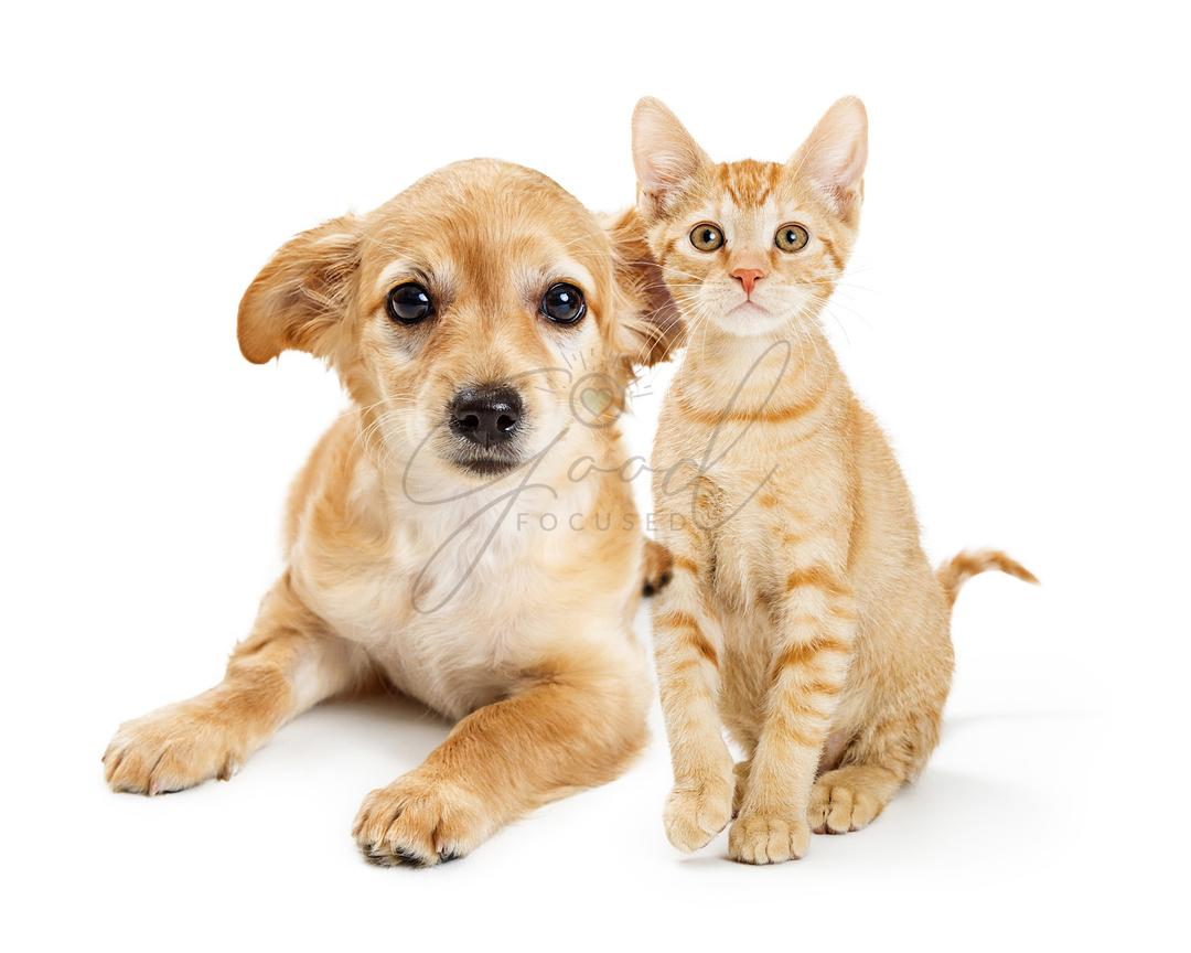 Cute Tan Color Kitten and Puppy Together