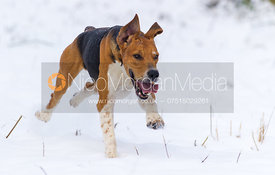A Belvoir hound at full speed - The Belvoir Hunt on foot in Stathern 22/1/13