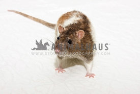 brown and white pet rat on white table