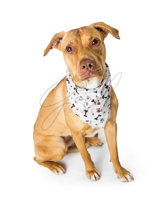 Terrier and Labrador Crossbreed Dog Wearing Bandana