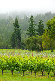 Vineyards and Trees, Anderson Valley #1