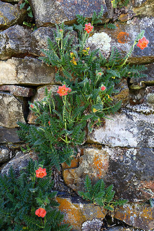 Caiophora / Cajophora horrida flower growing against dry stone wall of abandoned rustic hut, Bolivia