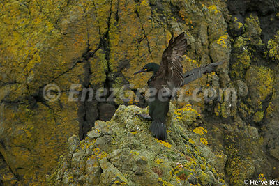 Great Cormorant in Outer Hebrides - Scotland