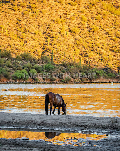 Wild Horse Drinking Water From River