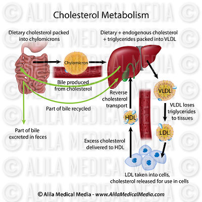 Cholesterol metabolism labeled