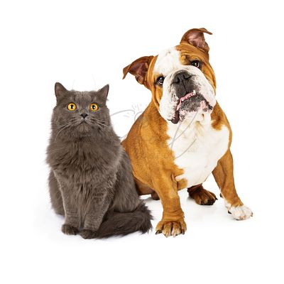English Bulldog and Gray Cat