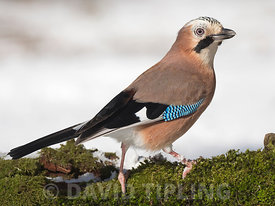 Eurasian Jay  Garrulus glandarius in woodland in winter North Norfolk