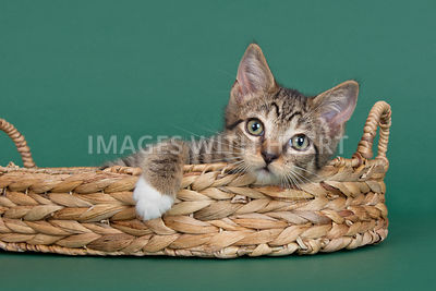 Cute kitten hanging out in basket