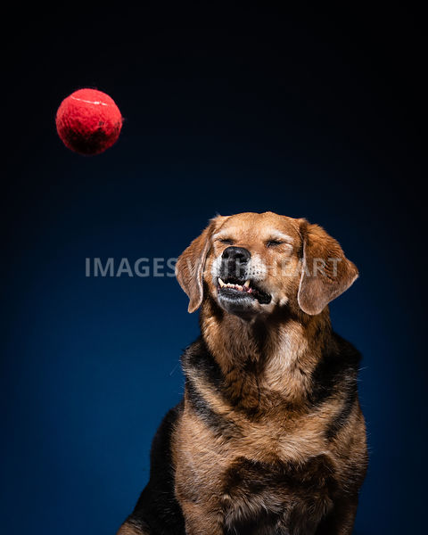 Brown dog with underbite with red ball