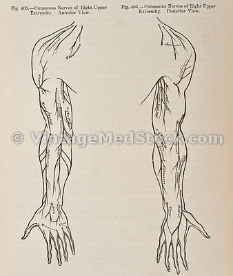 Cutaneous Nerves in Arm