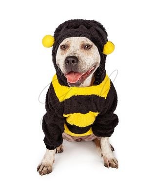 Pit Bull in Halloween Bumble Bee Costume