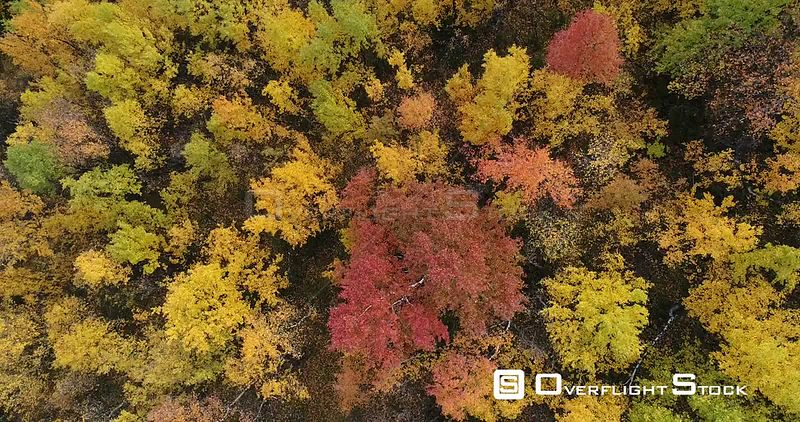Aerial shot of a Birch (Betulas) forest in autumn, Rondane, Hedmark, Norway, September 2017.