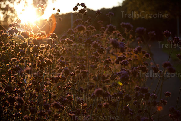 Evening sun shining through purple Cleveland sage wildflowers in Napa Valley