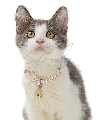 Closeup Cute Kitten Wearing Pearl Necklace