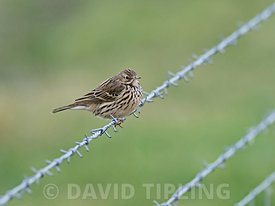 Meadow Pipit Anthus pratensis Salthouse Norfolk February