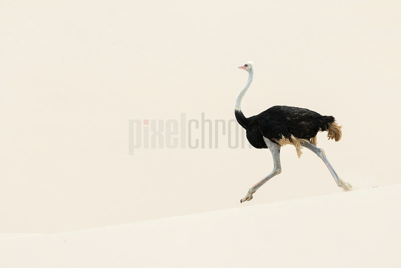 Male Ostrich Running in the Dunes