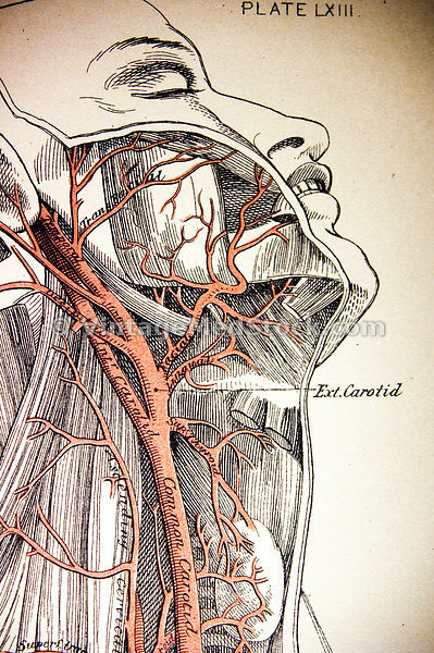 Arteries of the Human Neck and Face