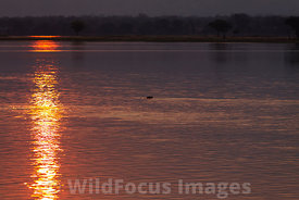 Hippopotamus (Hippopotamus amphibius) in the Zambezi river, Mana Pools National Park, Zimbabwe; Landscape