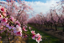 Peach Orchards in Bloom #14