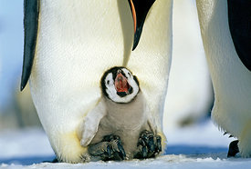 Emperor Penguins, Aptenodytes forsteri, chick on parents feet, begging for food, Weddell Sea, Antarctica