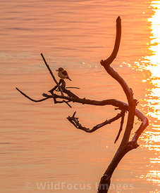 Brownhooded Kingfisher (Halcyon albiventris) on the Zambezi river, Mana Pools National Park, Zimbabwe; Landscape