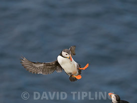 Atlantiic Puffin Fratercula arctica Hermaness Unst Shetland