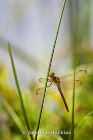 Dragonfly_IMG_9524_PD