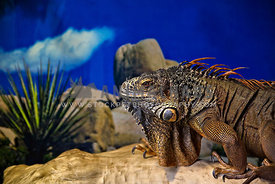 side view of pet iguana standing on log