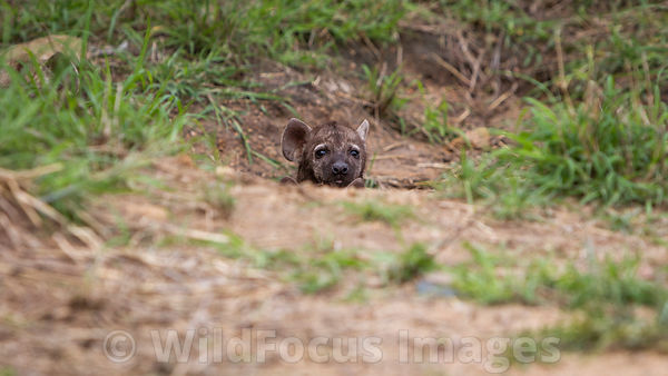 Baby Spotted Hyena (Crocuta crocuta) near den on S114, Kruger National Park,  South Africa; Landscape