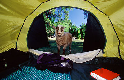 Sheep in tent
