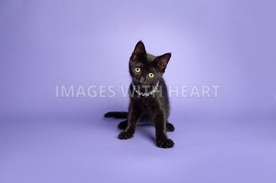 Black kitten sitting on purple background