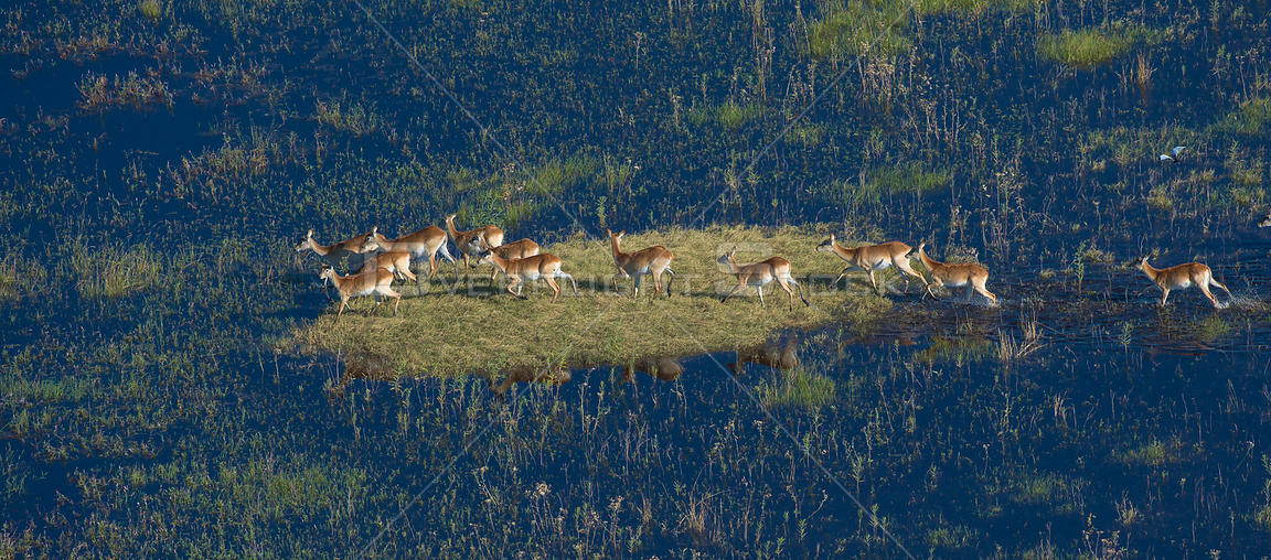 Red Lechwe (Kobus leche) aerial view of small herd on an island in Okavango Delta swamp, Botswana