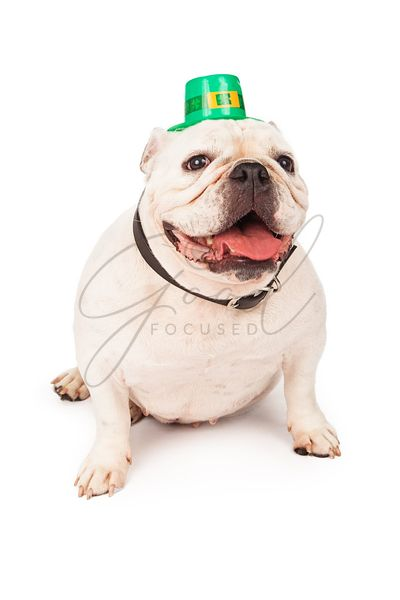 Bulldog Wearing St. Patricks Day Hat