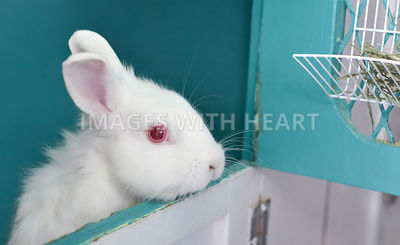 White Albino Dwarf Rabbit