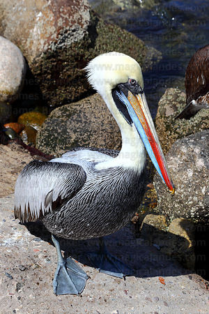 Adult Peruvian pelican ( Pelecanus thagus ) in breeding plumage