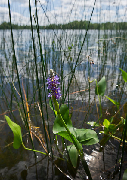 Pickerelweed along the lake