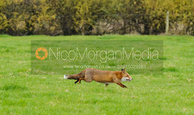 A Red Fox, Vulpes Vulpes - Royalty Free Image