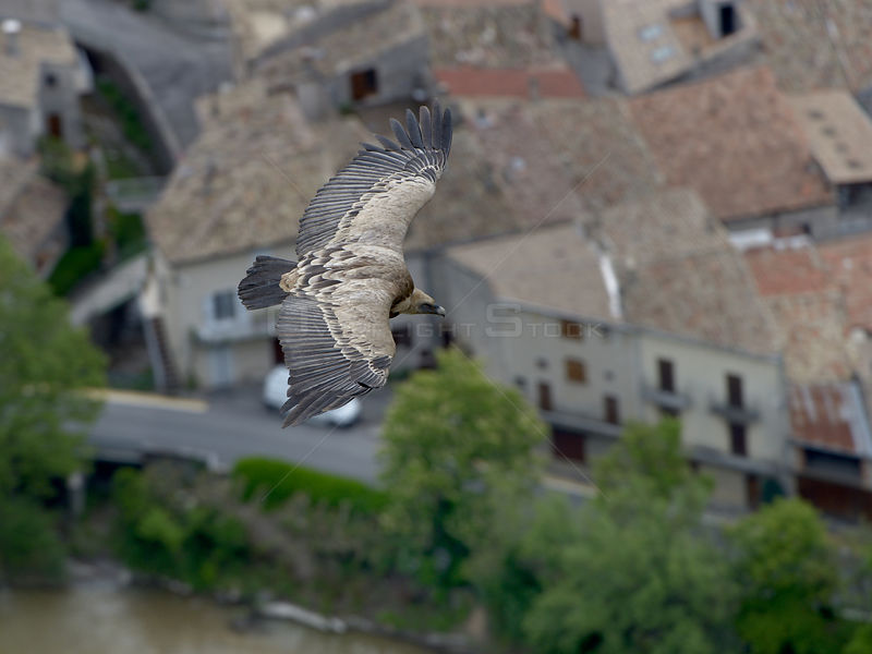 Griffon Vulture (gyps fulvus) in flight over town, Sainte May, France, May