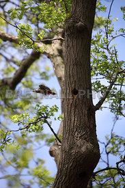 Great Spotted Woodpecker Flying The Nest