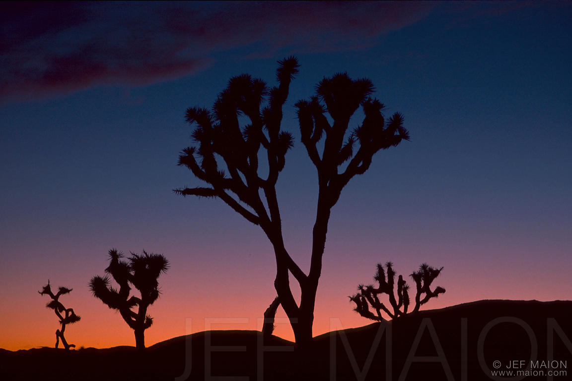 Joshua Tree silhouettes at dusk